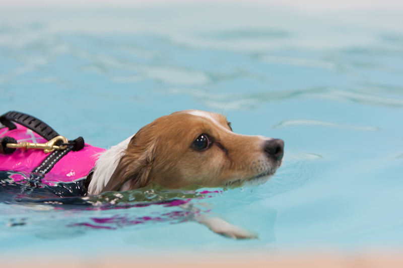 jack_russell_swimming