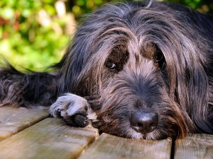 Canine suffering from arthritis [ain